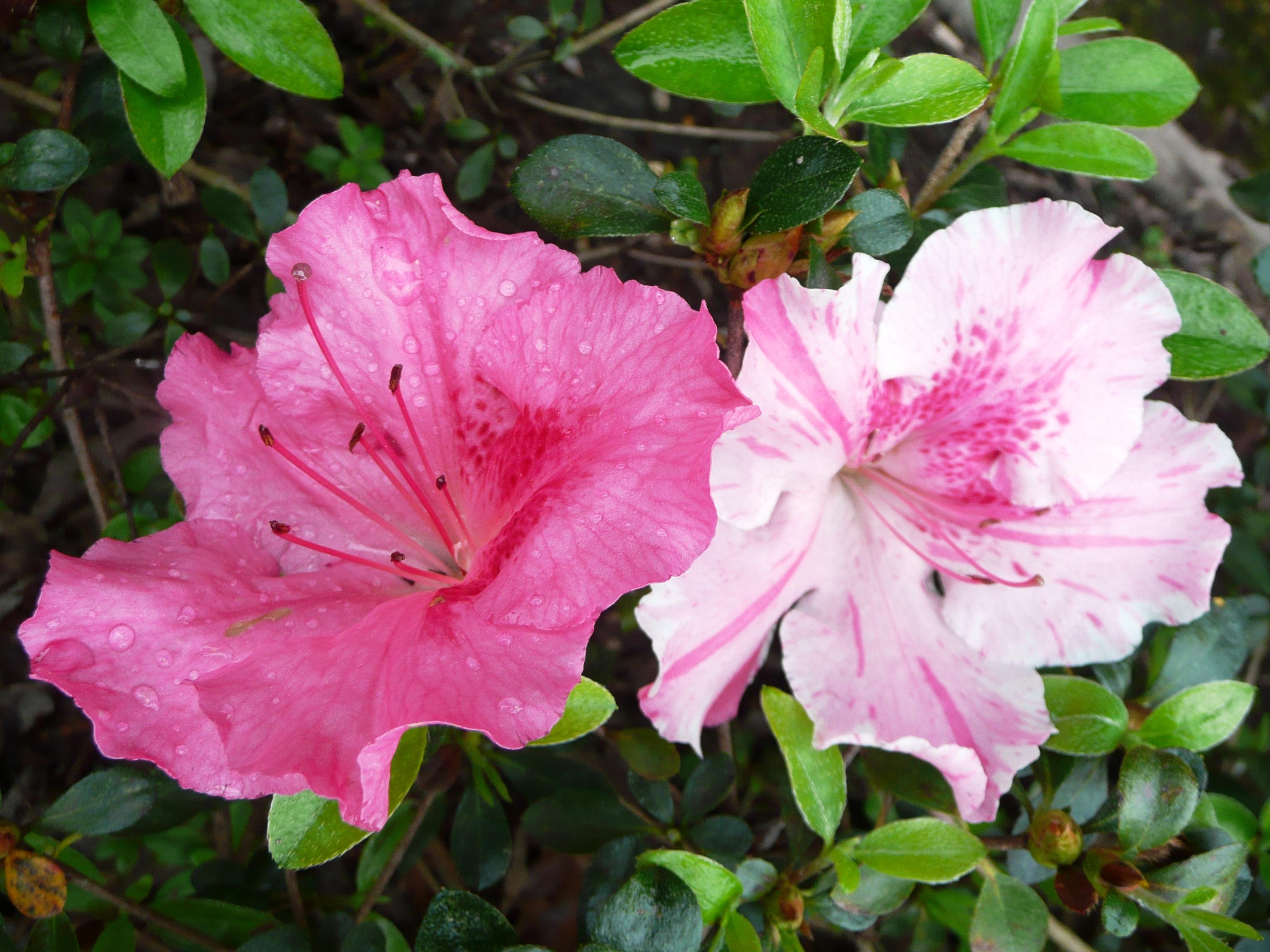 Robin hill azaleas include new louisiana super plant lsu for The azalea