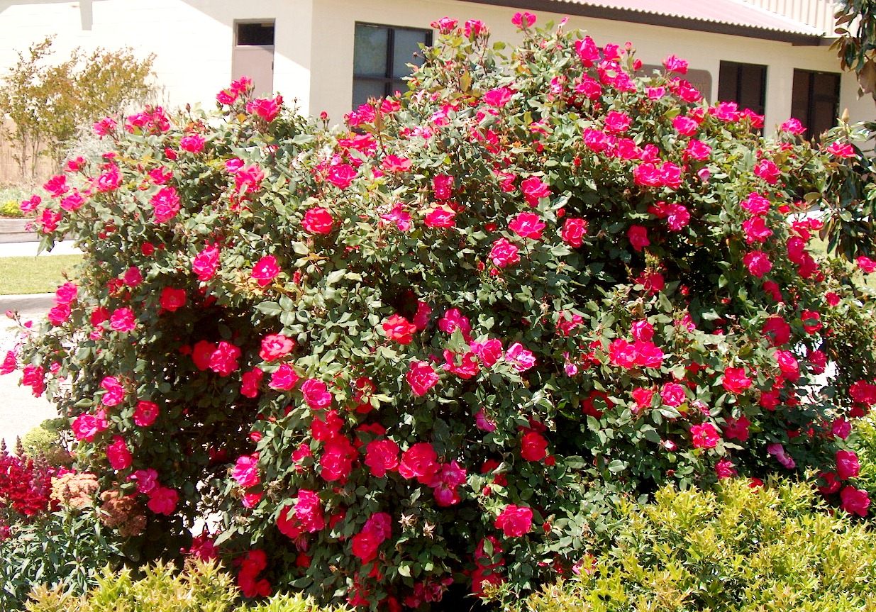 How to prune a rose bush - Knock Out Rose Bush