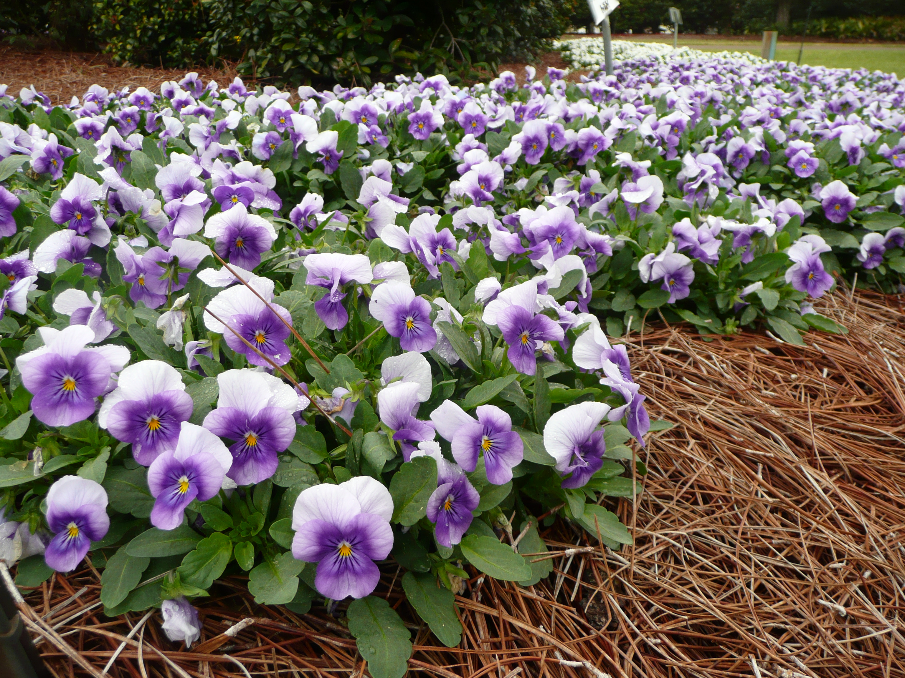 Enhance your landscape with louisiana super plants lsu for Flowering landscape plants