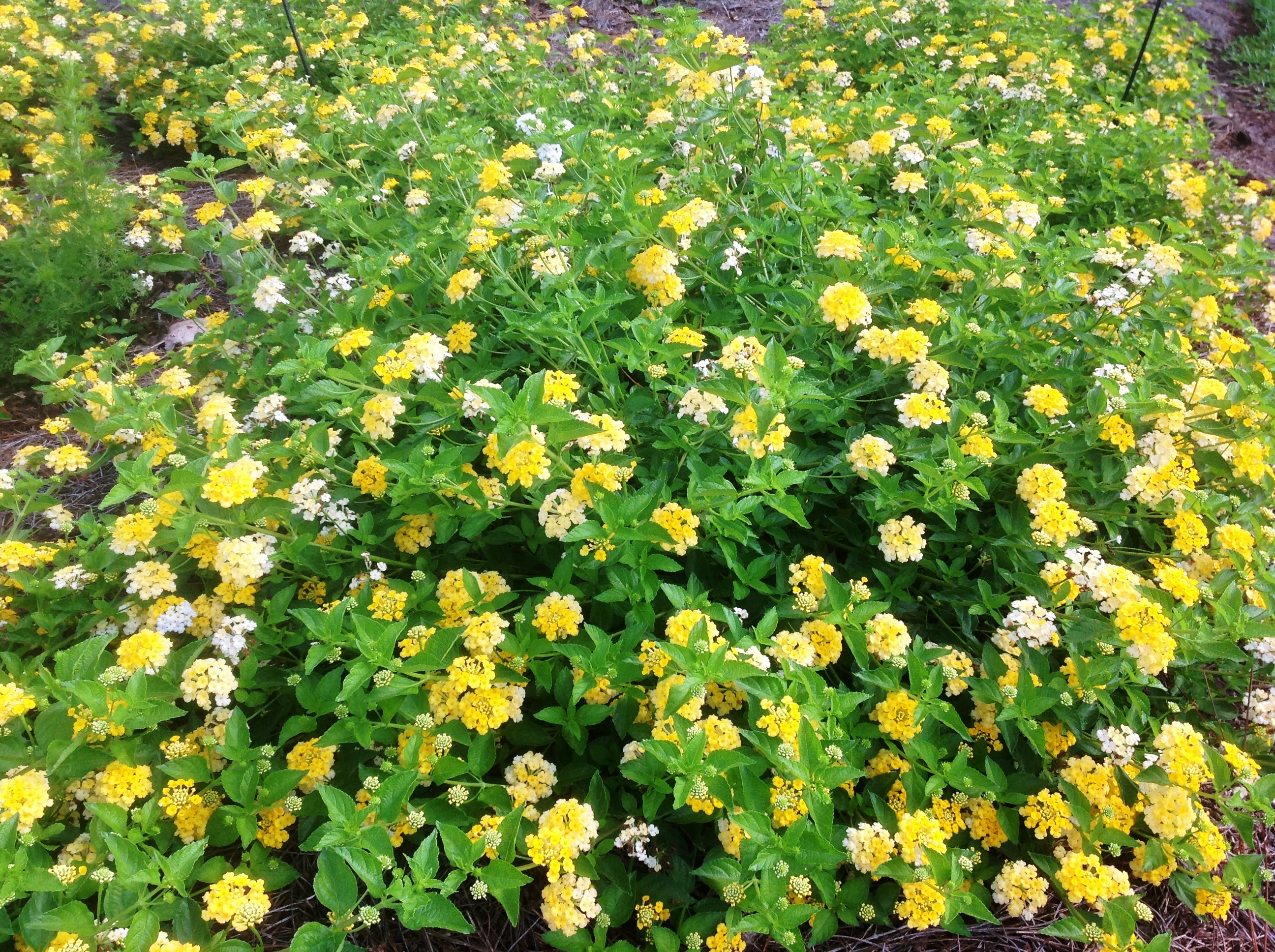 Chapel Hill Community Center >> There's still time to plant lantanas - LSU AgCenter