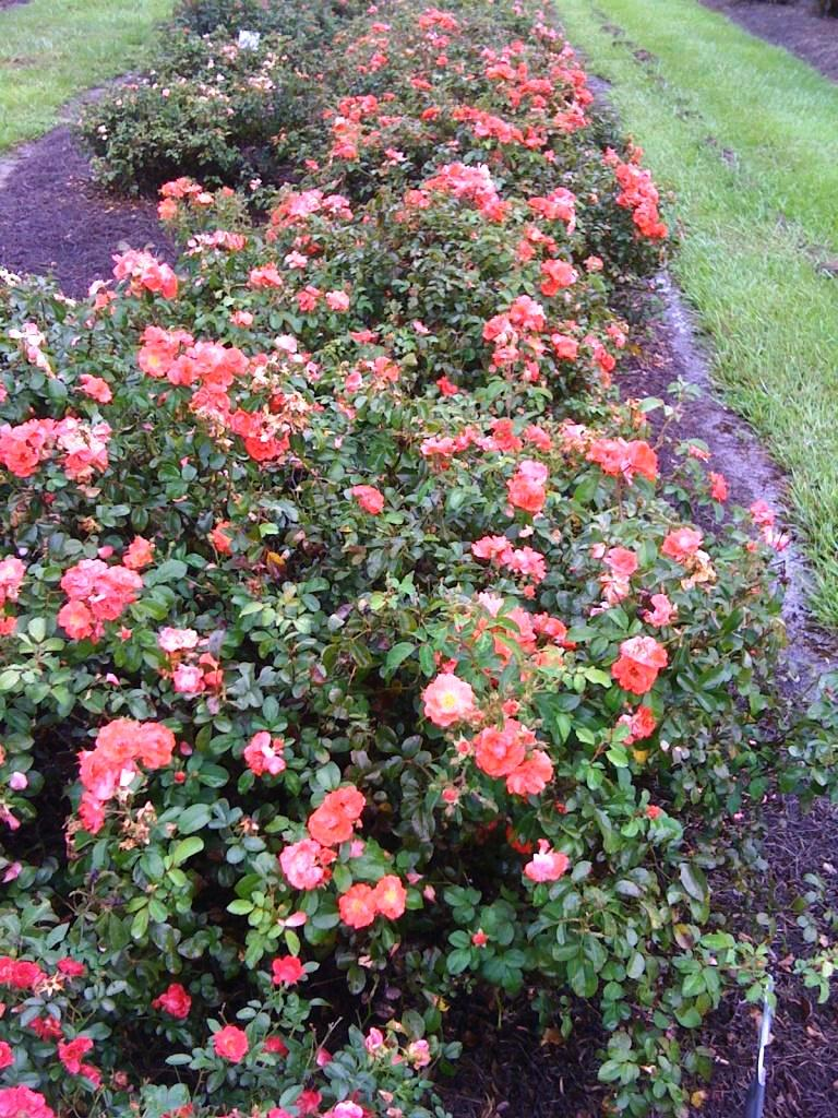 Drift Rose Selected As Louisiana Super Plant Lsu Agcenter