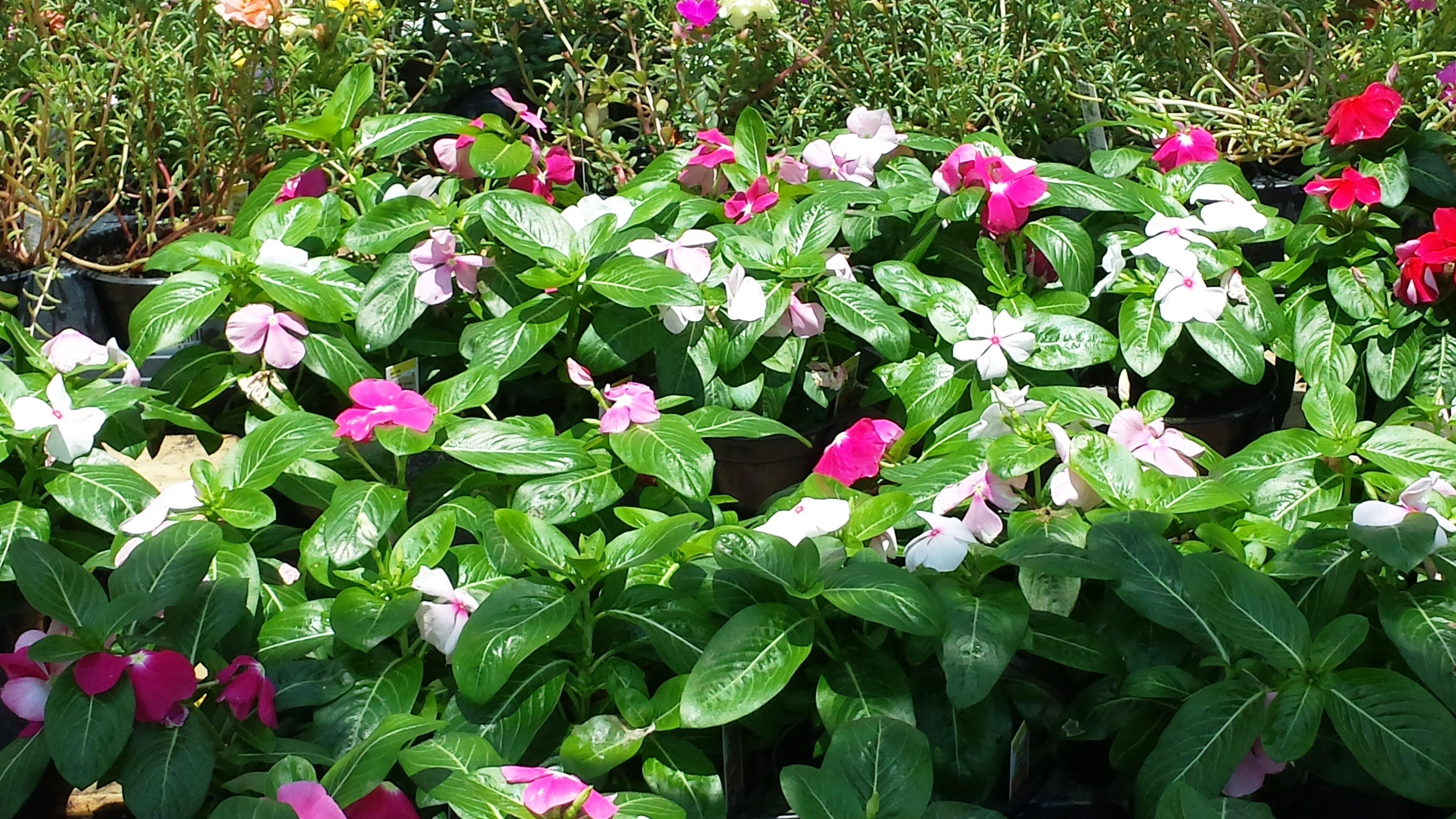 Its not too late for summer flowers lsu agcenter many retailers have a variety of plants available that can be used to freshen late summer flower beds photo by rick bogren izmirmasajfo