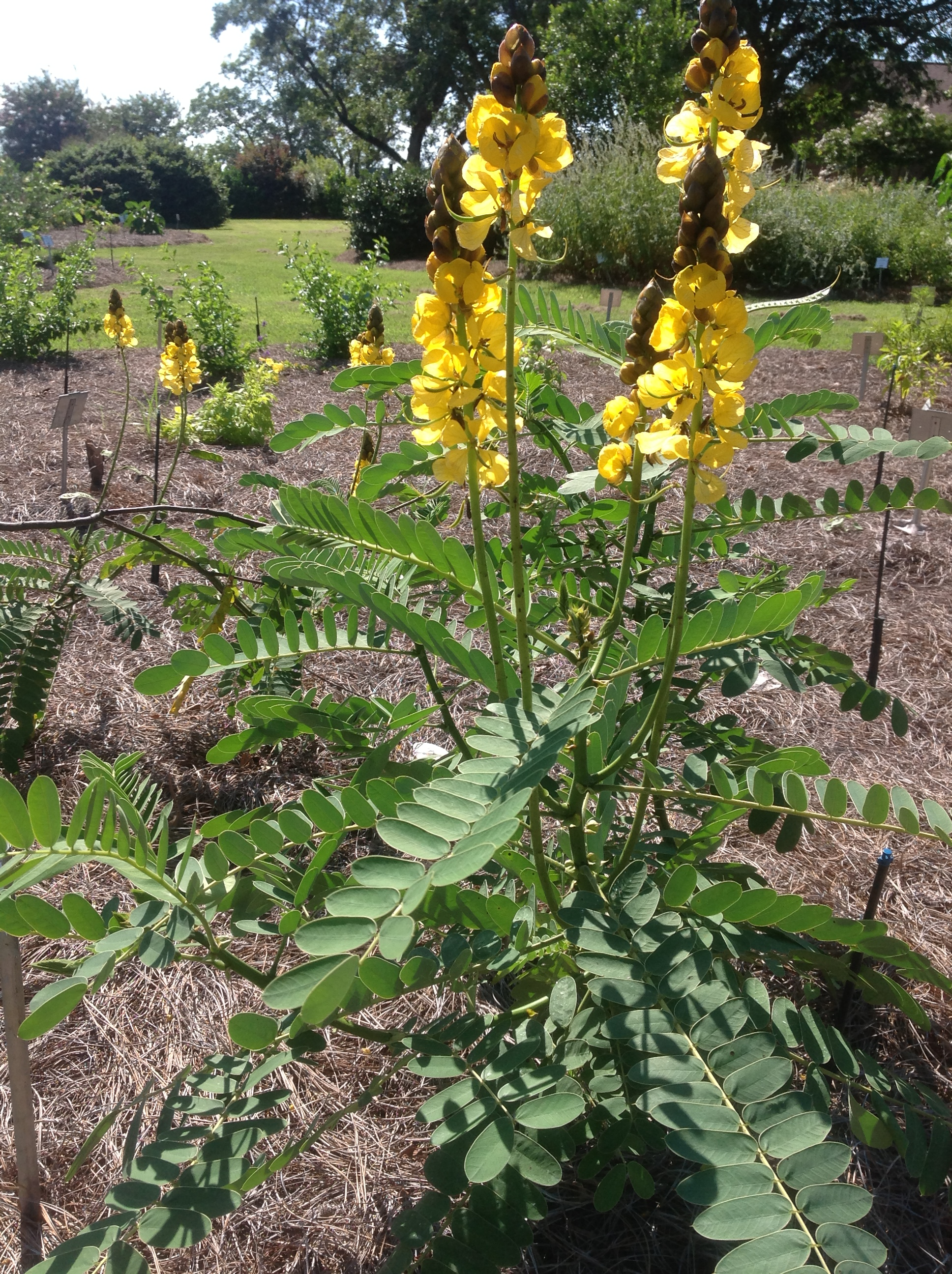 Cassias Add Golden Yellow Flowers To Fall Landscape Lsu Agcenter