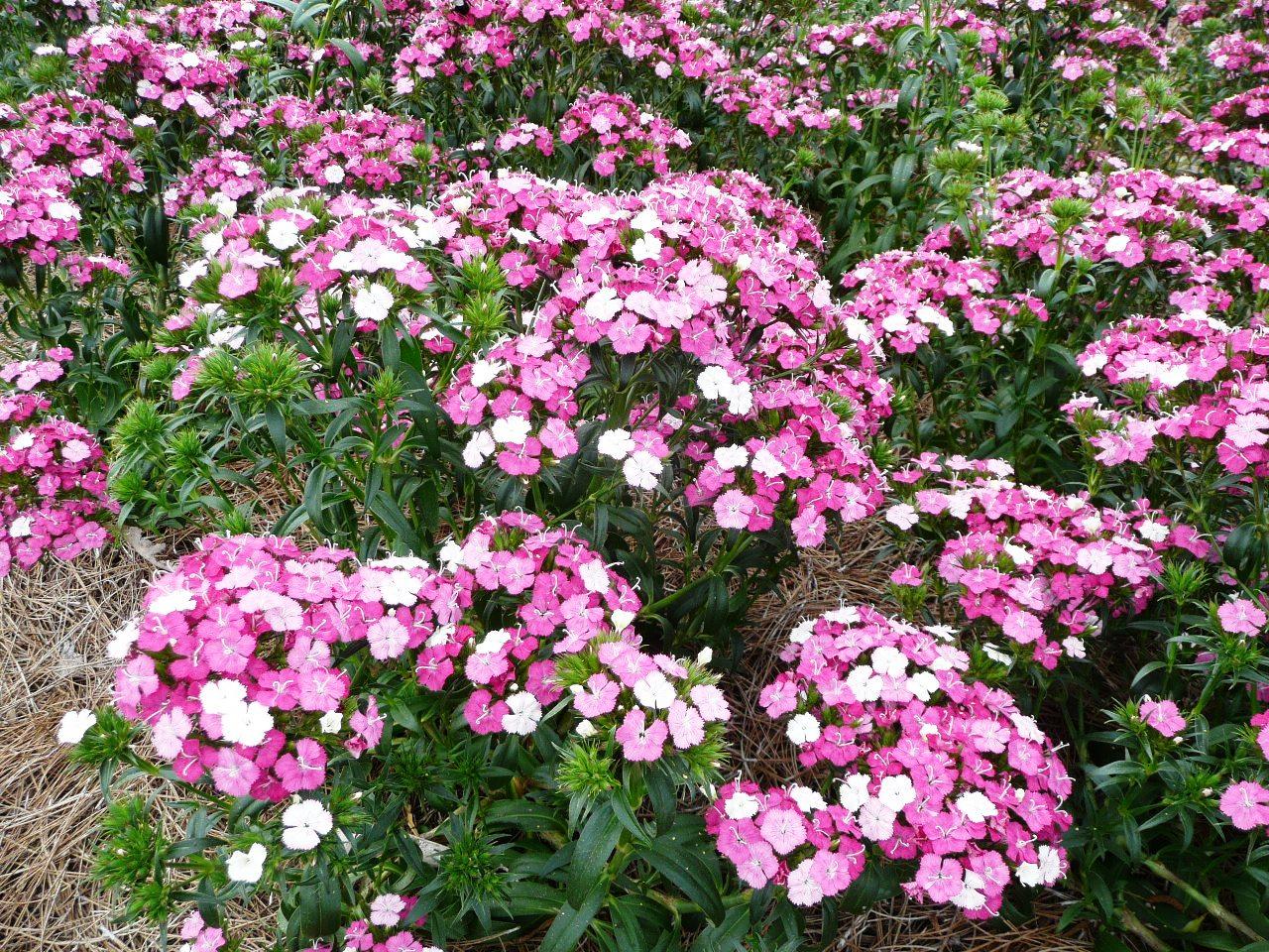 dianthus shine as cool season flowers lsu agcenter