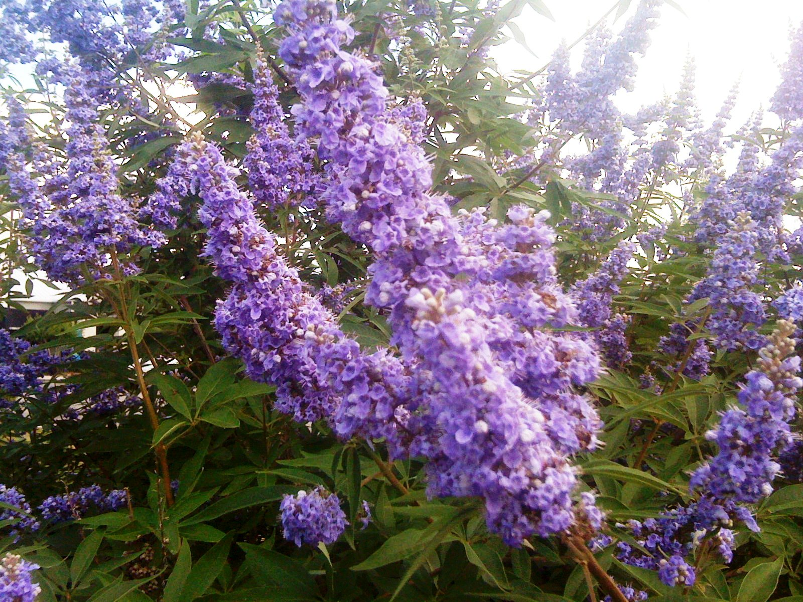 Vitex Provides Late Spring Summer Flowers Lsu Agcenter