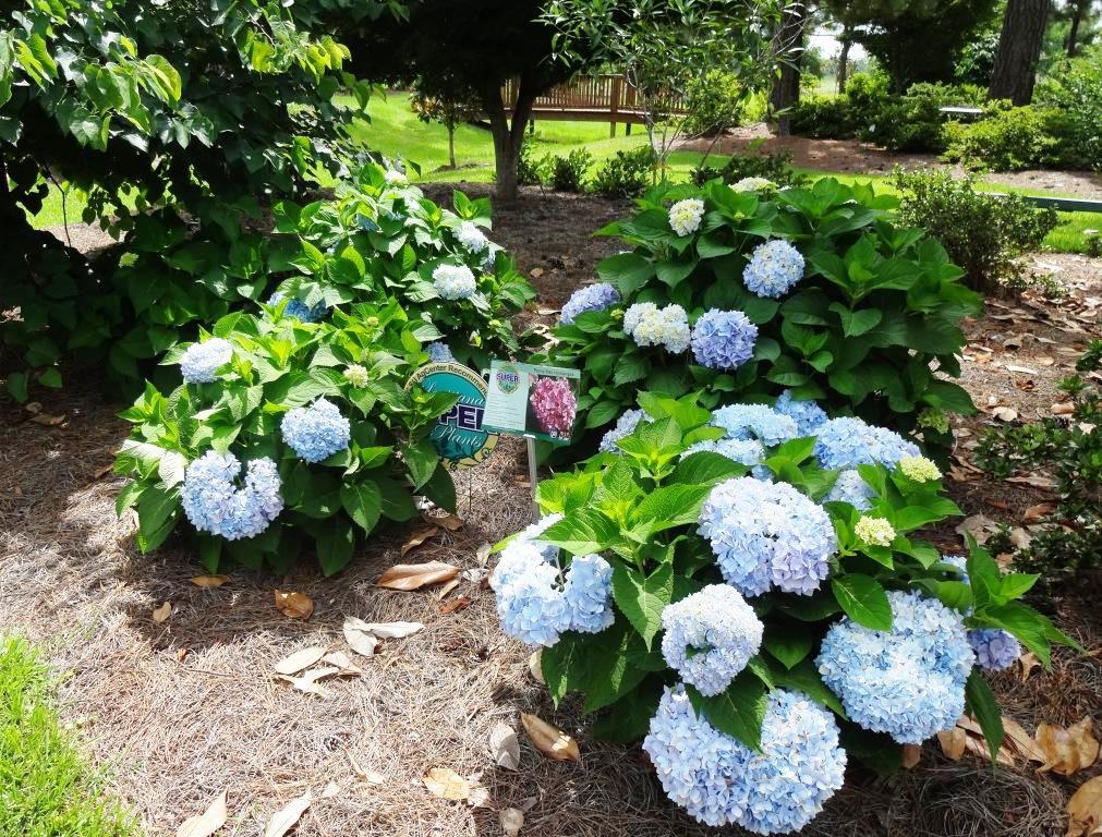 Research gardens growing in hammond lsu agcenter for Macintosh garden