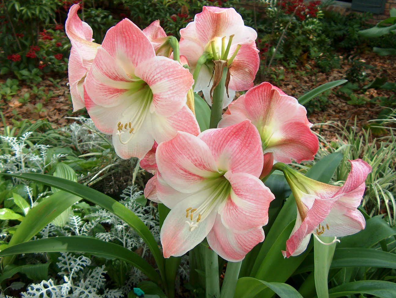 Amaryllis – a potted plant now a landscape plant later LSU AgCenter