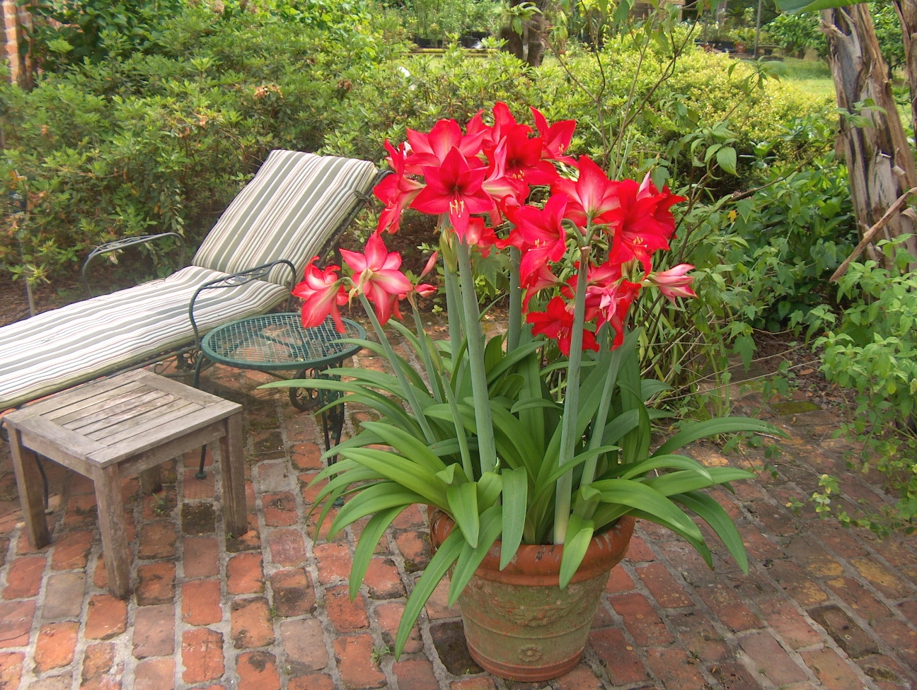 Amaryllis a potted plant now a landscape plant later for Planter des amaryllis