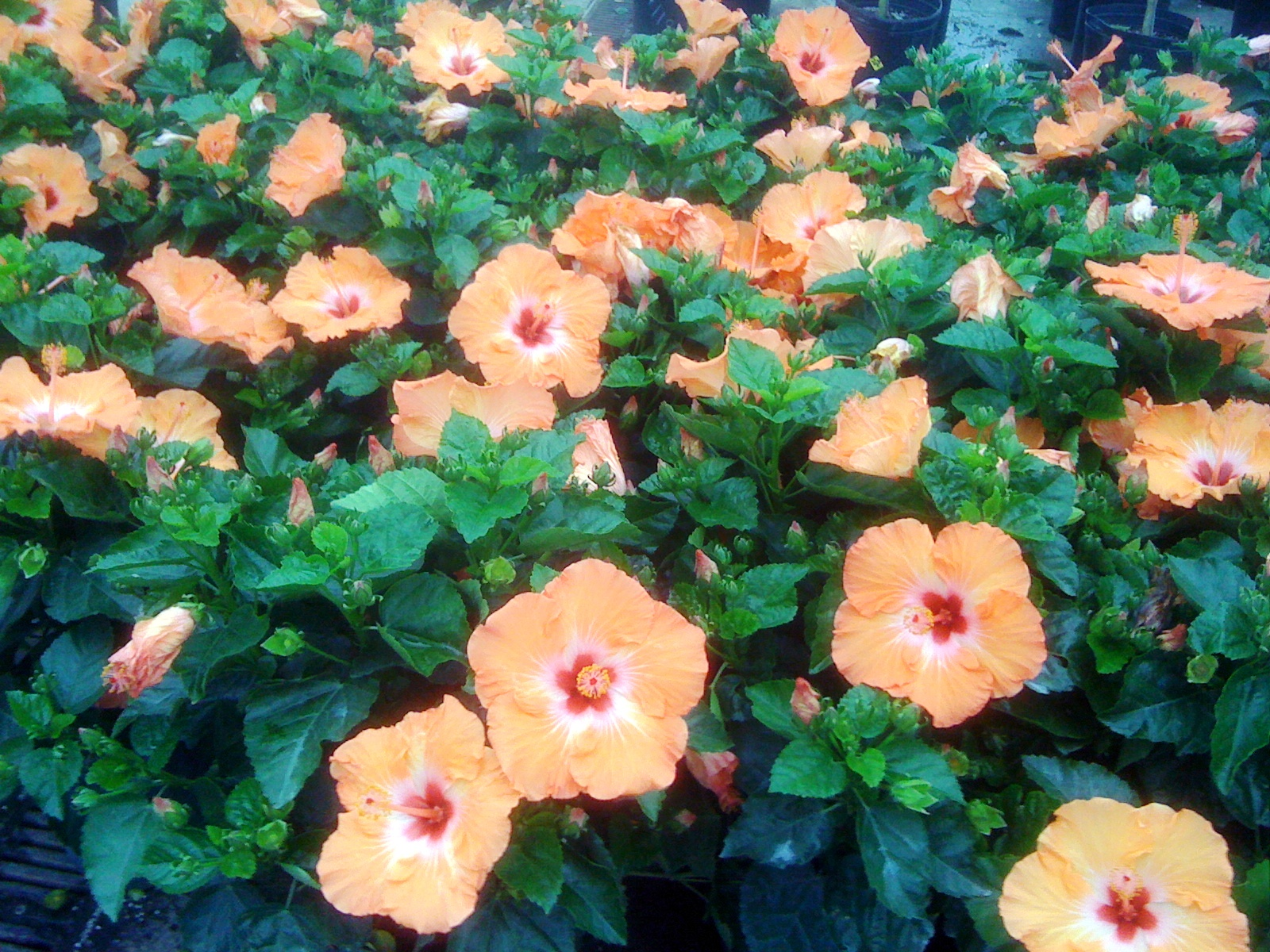 Tropical Hibiscus Adds To Summer Fall