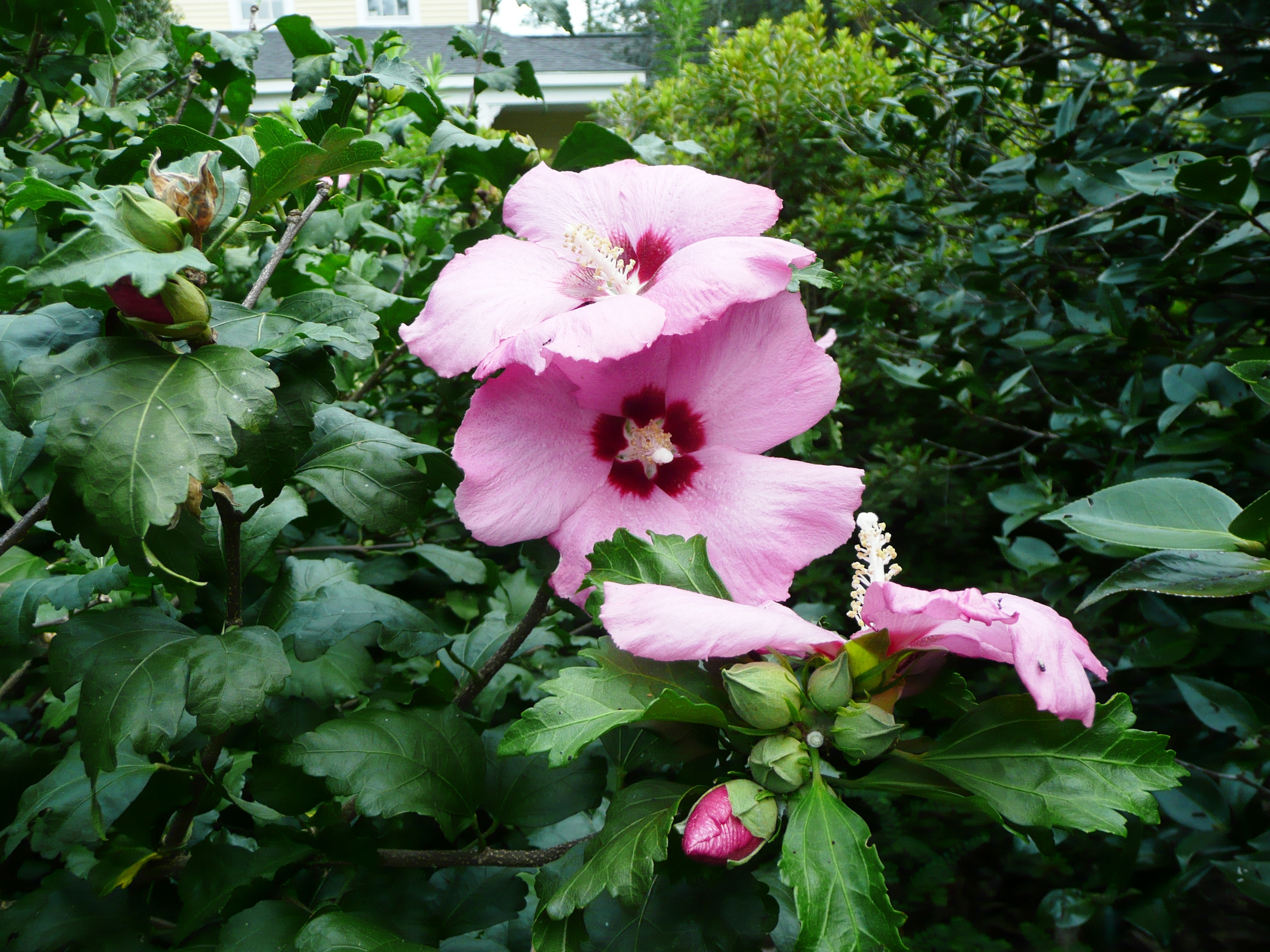 Try althea for summer color - LSU AgCenter