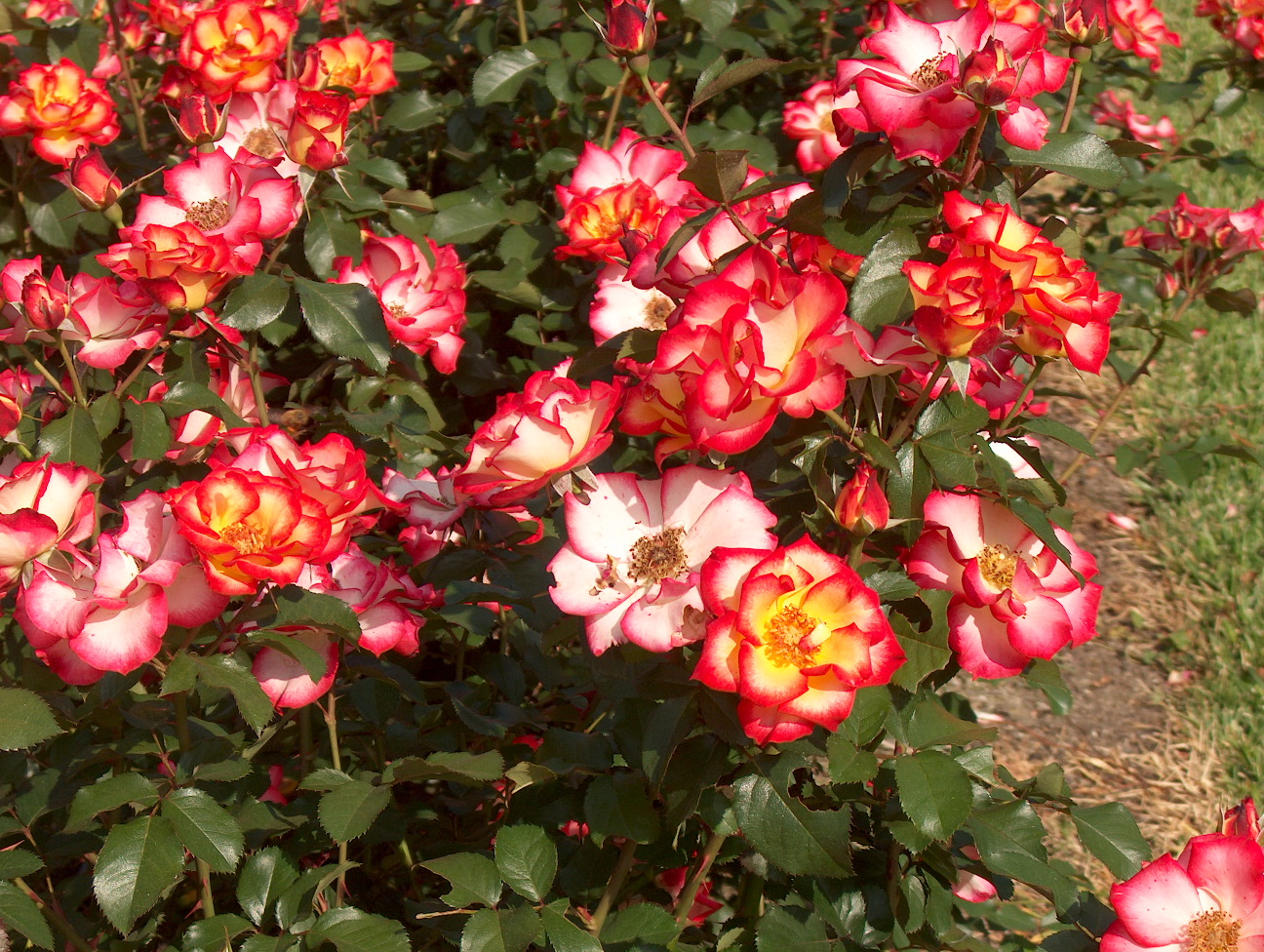 plant roses in winter for beautiful blooms lsu agcenter. Black Bedroom Furniture Sets. Home Design Ideas