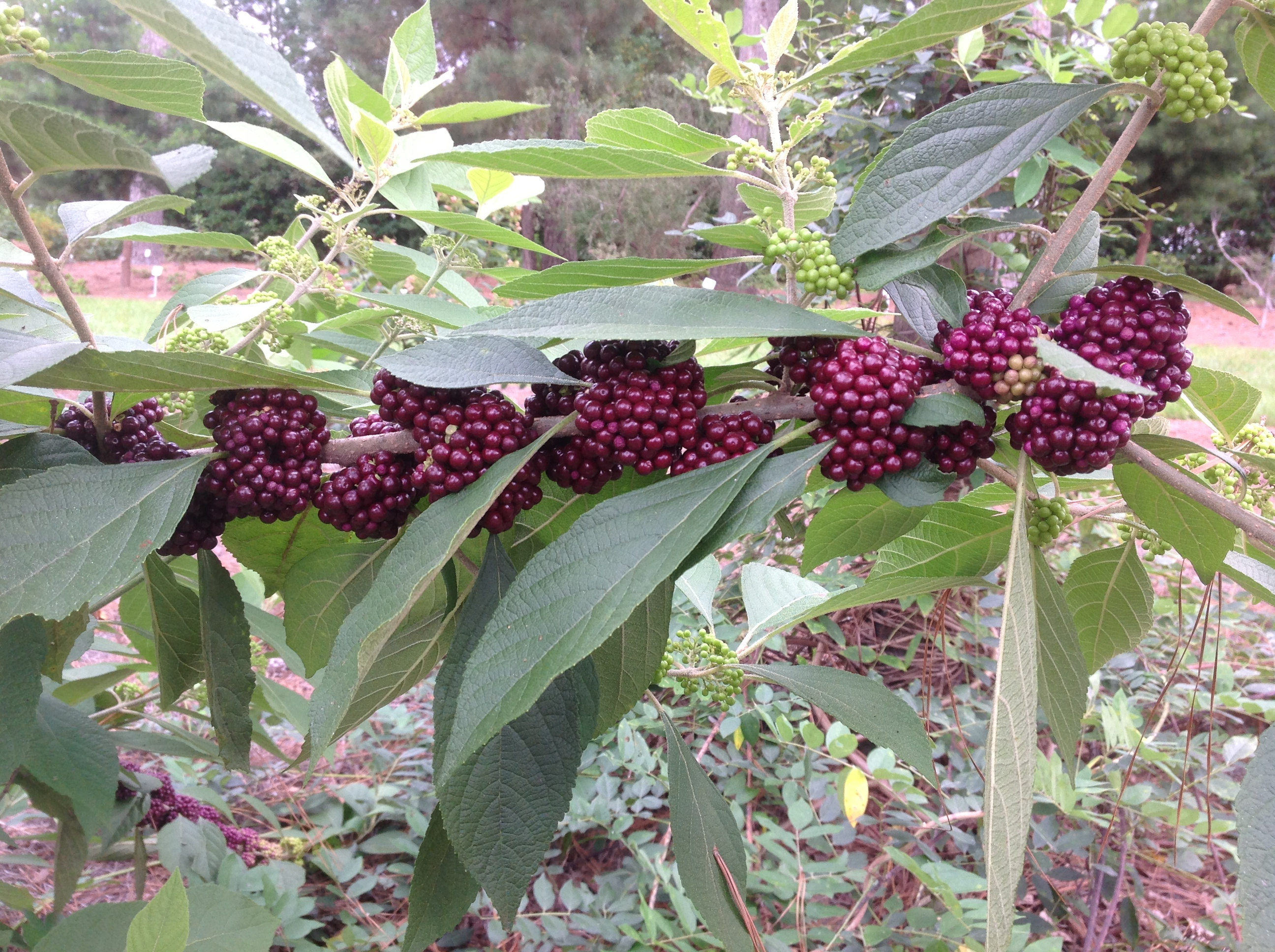 New trees, shrubs evaluated at Hammond Research Station - LSU AgCenter