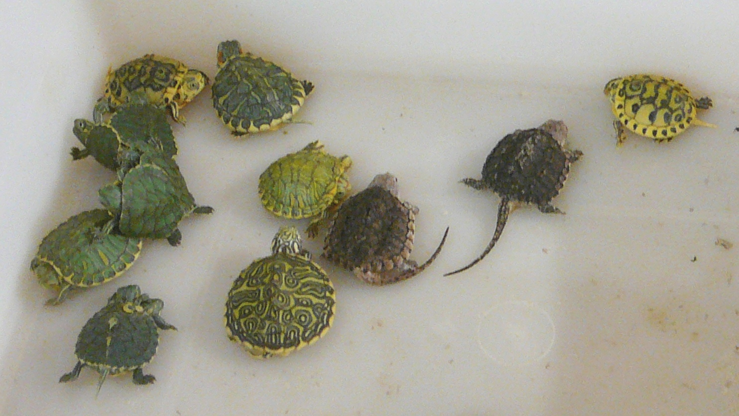 Baby Pet Turtle Food