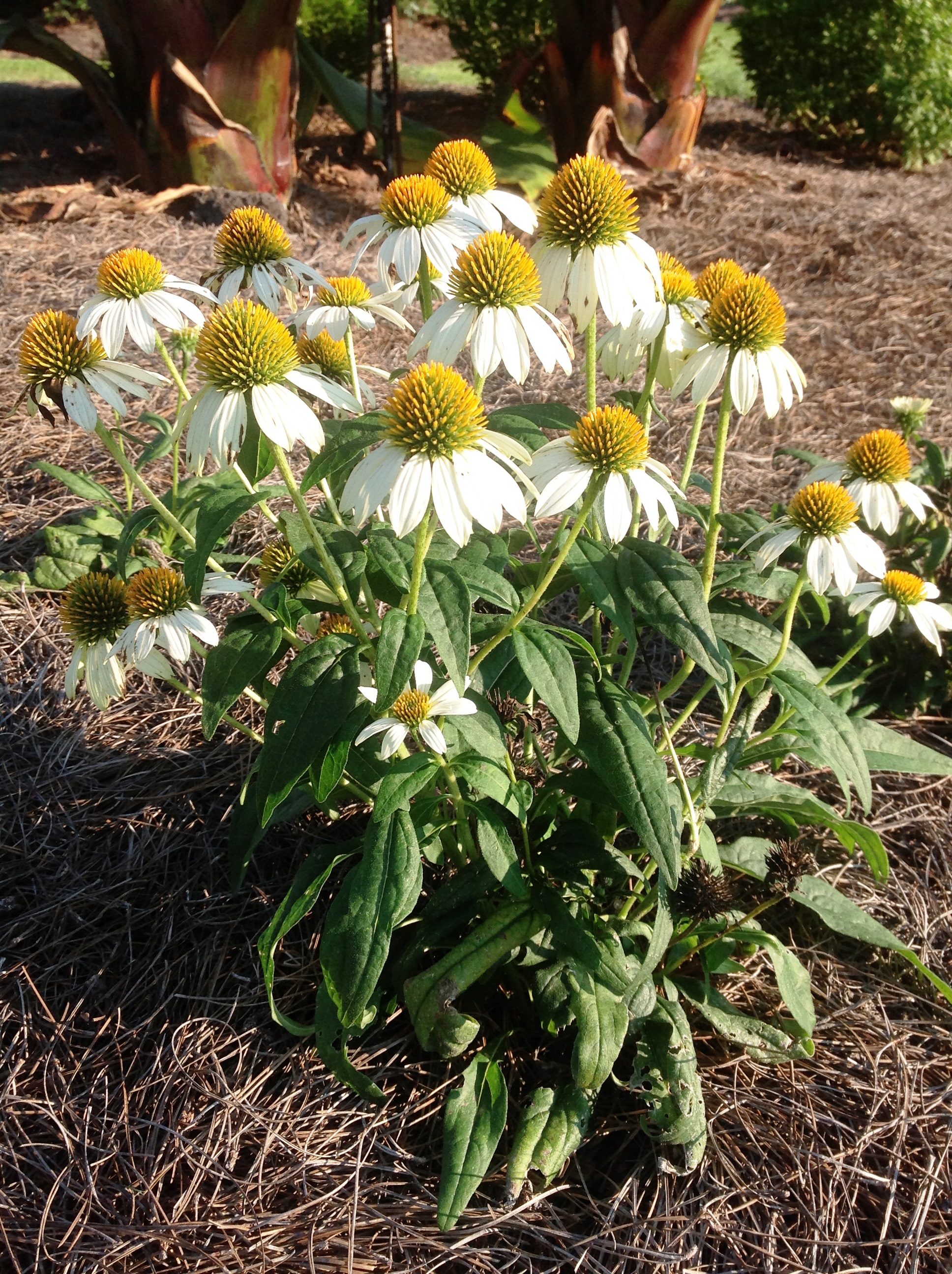 Echinacea named perennial of the year lsu agcenter powwow white coneflower mightylinksfo