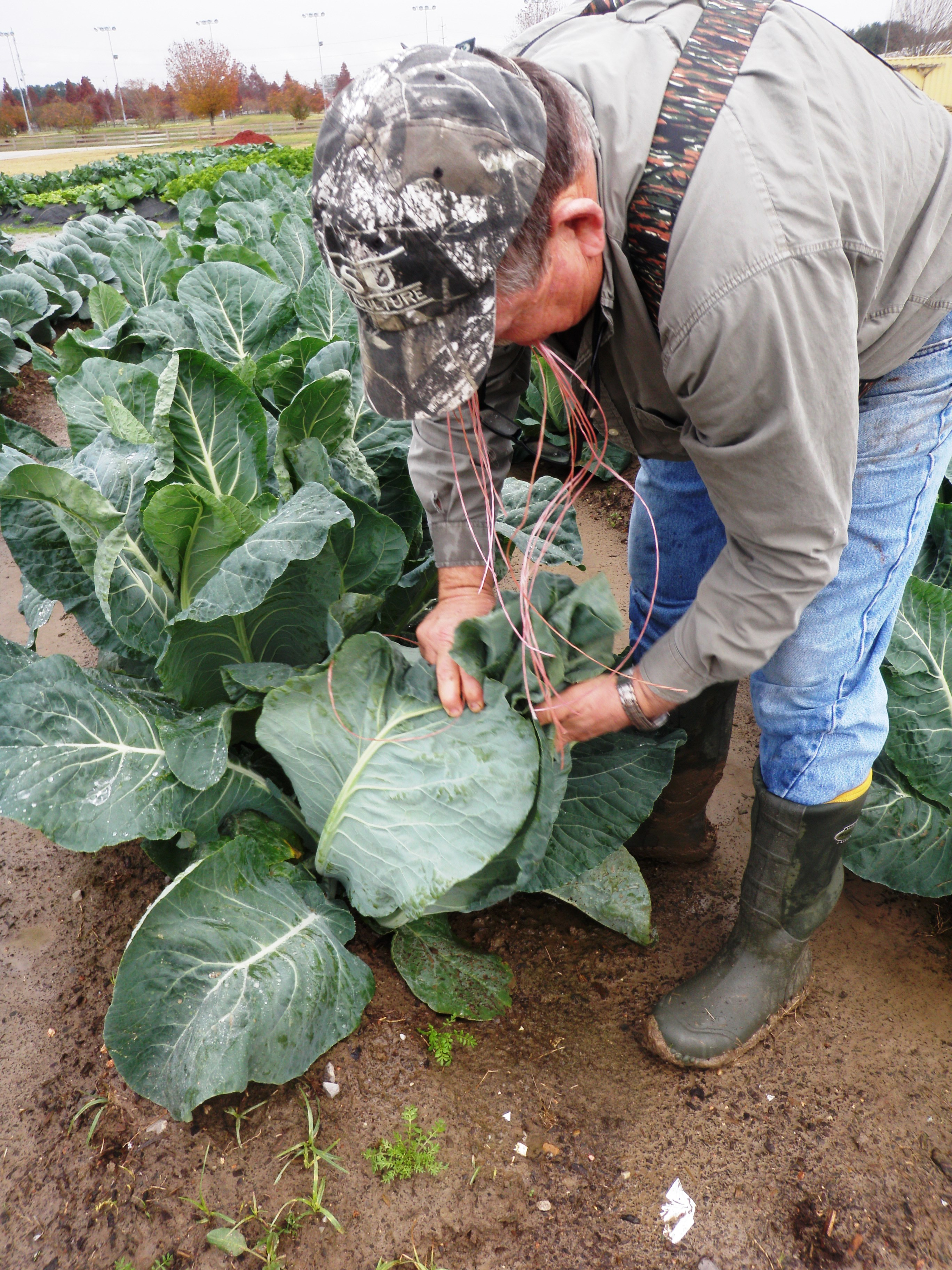 you can plant fall winter vegetables now lsu agcenter