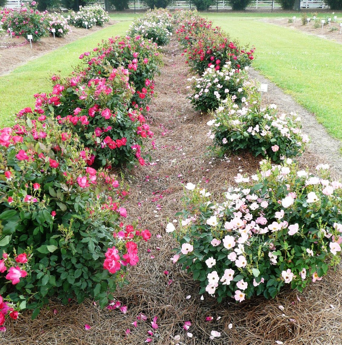 Improve Fall Roses With Late Summer Care Lsu Agcenter