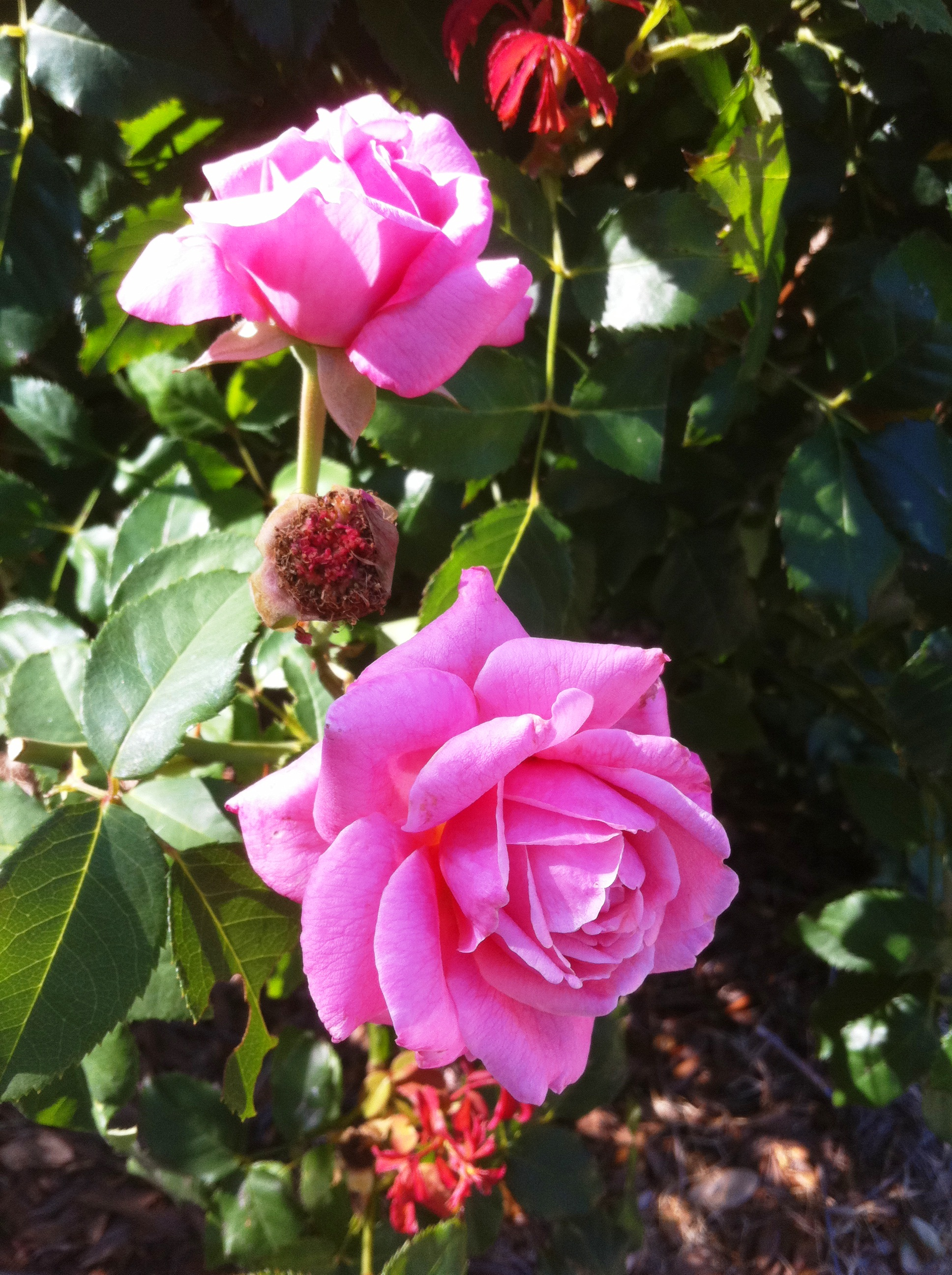 How to take care of roses - Take Care Of Your Roses During Summer