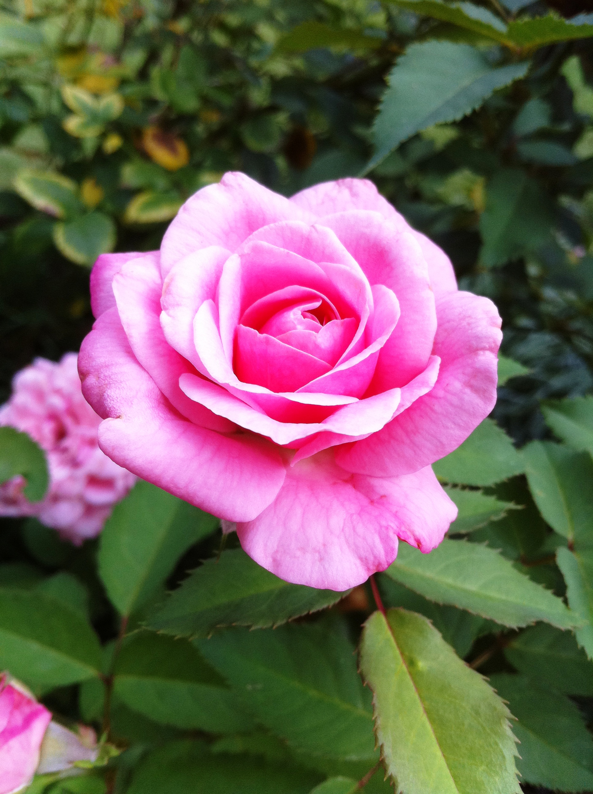 How to take care of roses - Belinda S Dream Rose