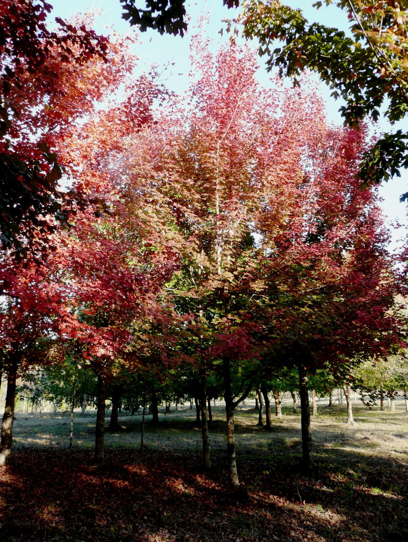 Dwarf ornamental trees for landscaping - Louisiana Has Great Landscape Trees