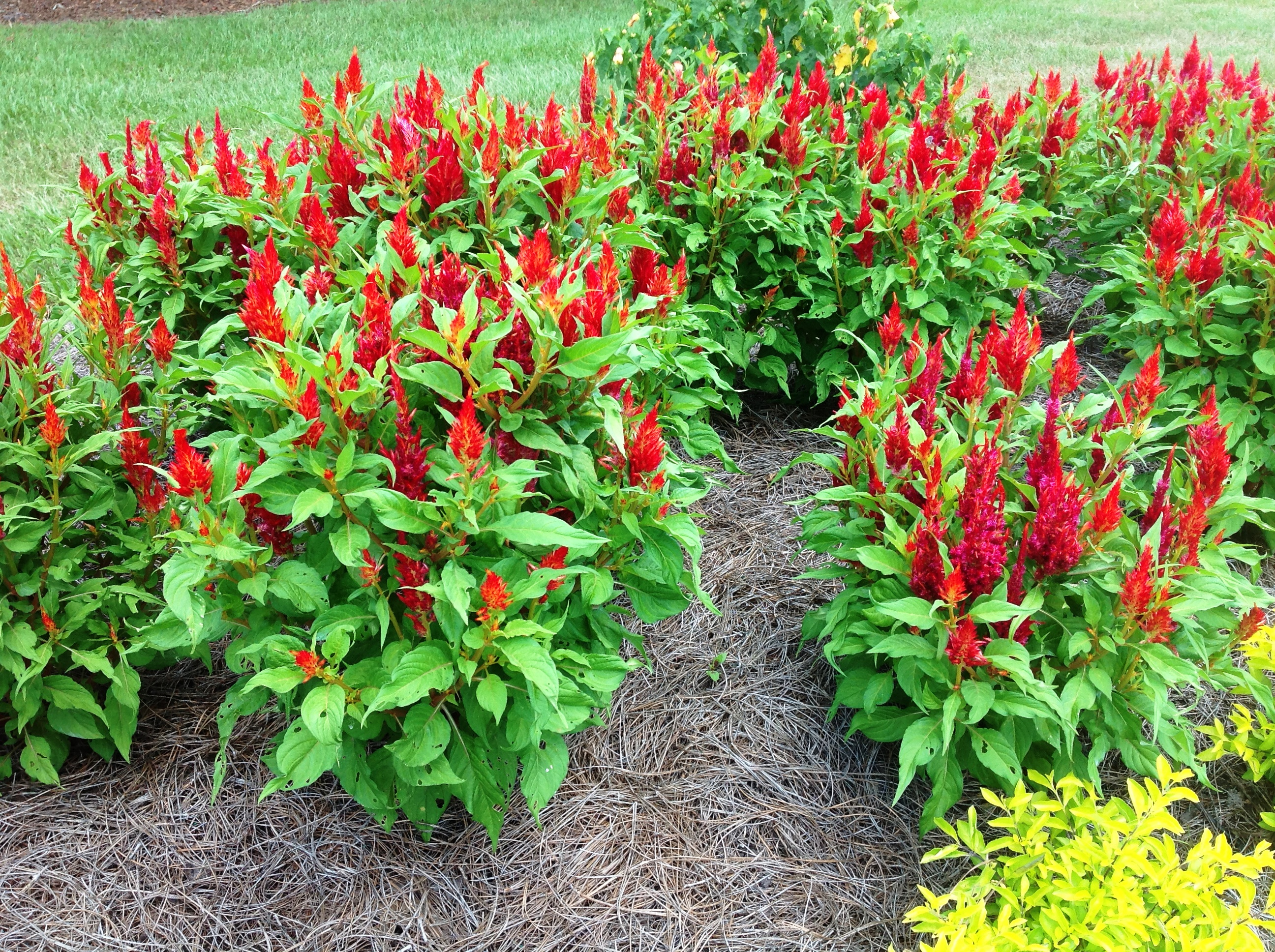 Celosia ornamental peppers dress up fall gardens LSU AgCenter