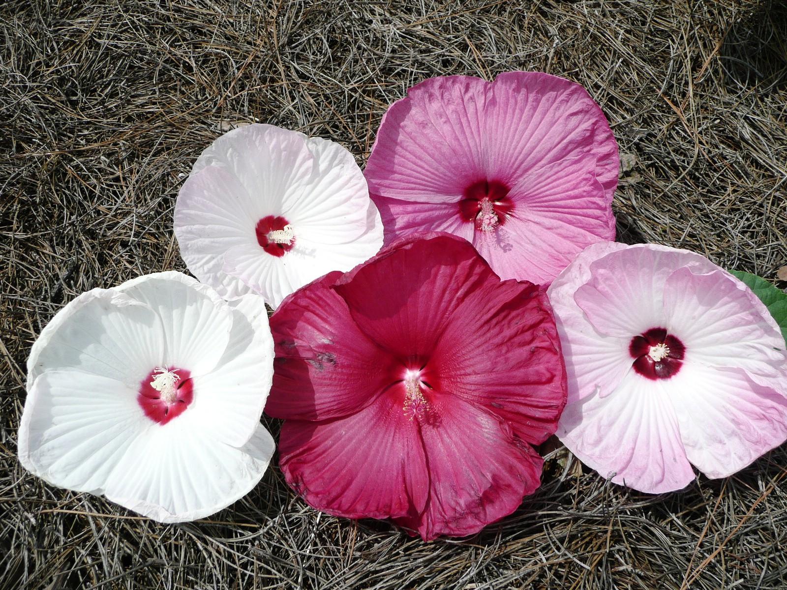 Luna Hibiscus Flowers