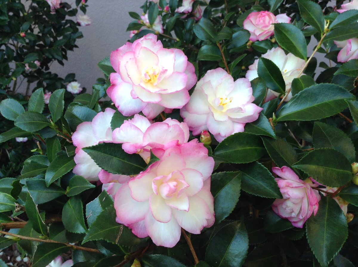 Leslie ann sasanqua named louisiana super plant lsu agcenter for Camelia sasanqua