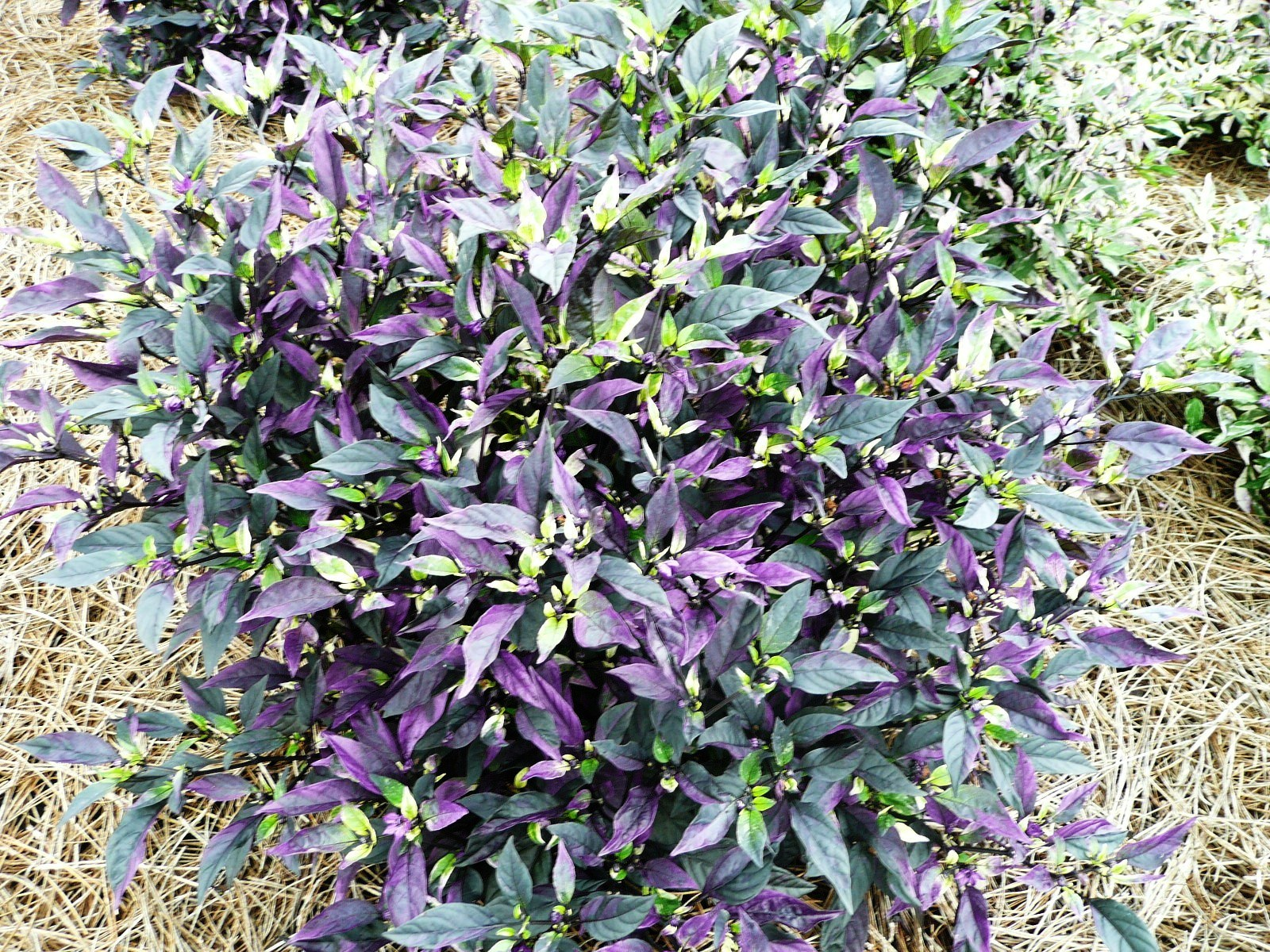 Colorful foliage plants enhance late summer fall for Ornamental garden plants
