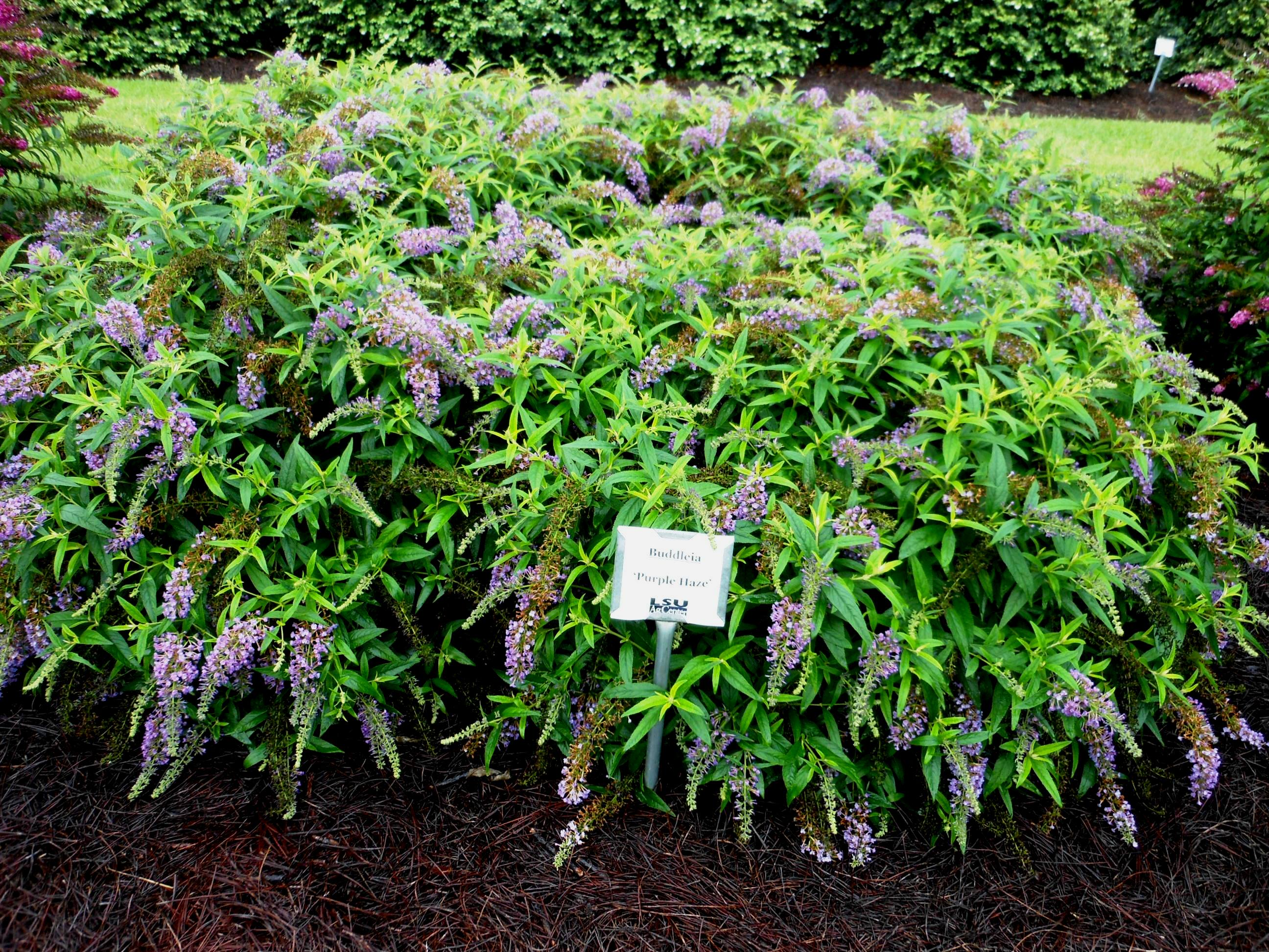 New Buddleias Provide Impressive Flowers Lsu Agcenter