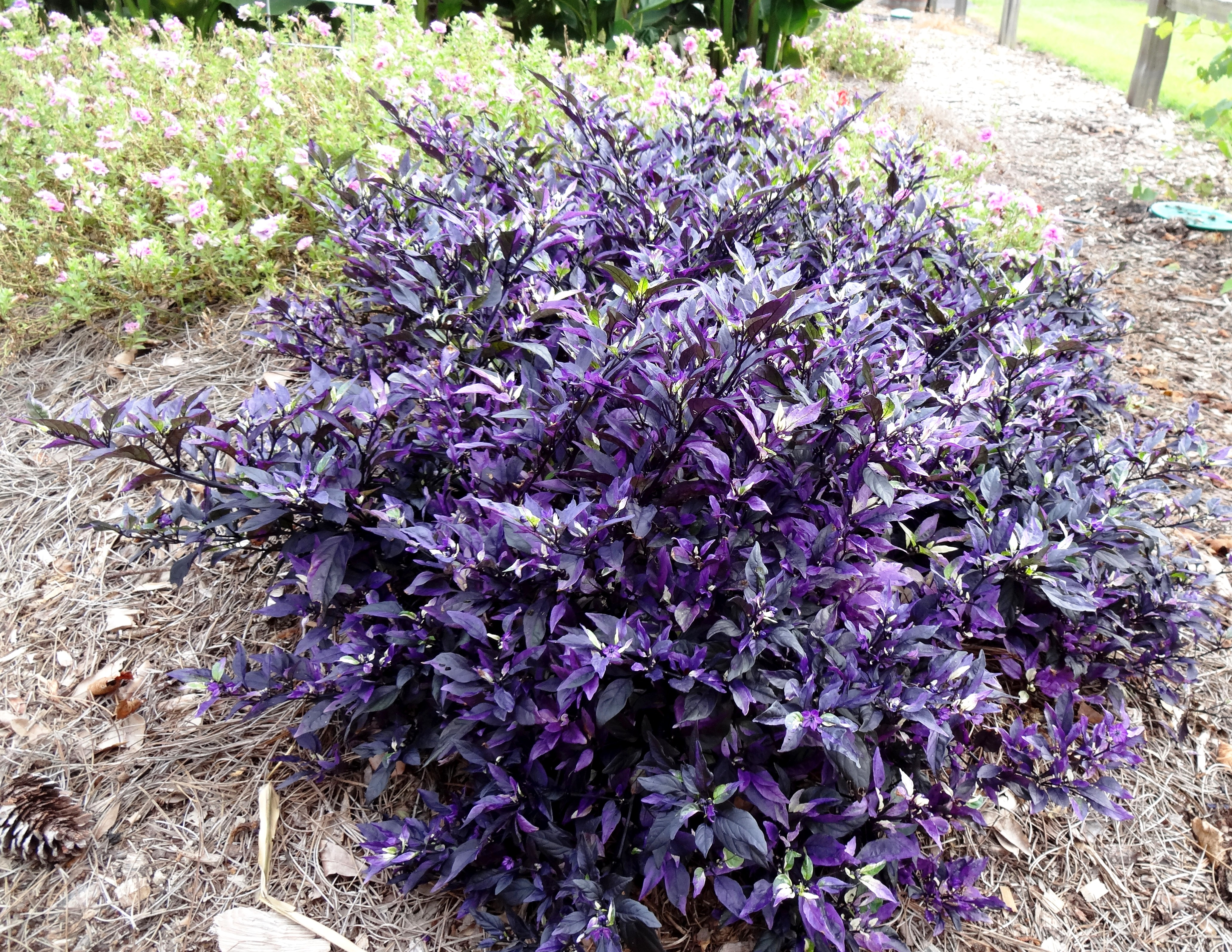Ornamental peppers add color to fall landscapes lsu agcenter for Ornamental garden plants