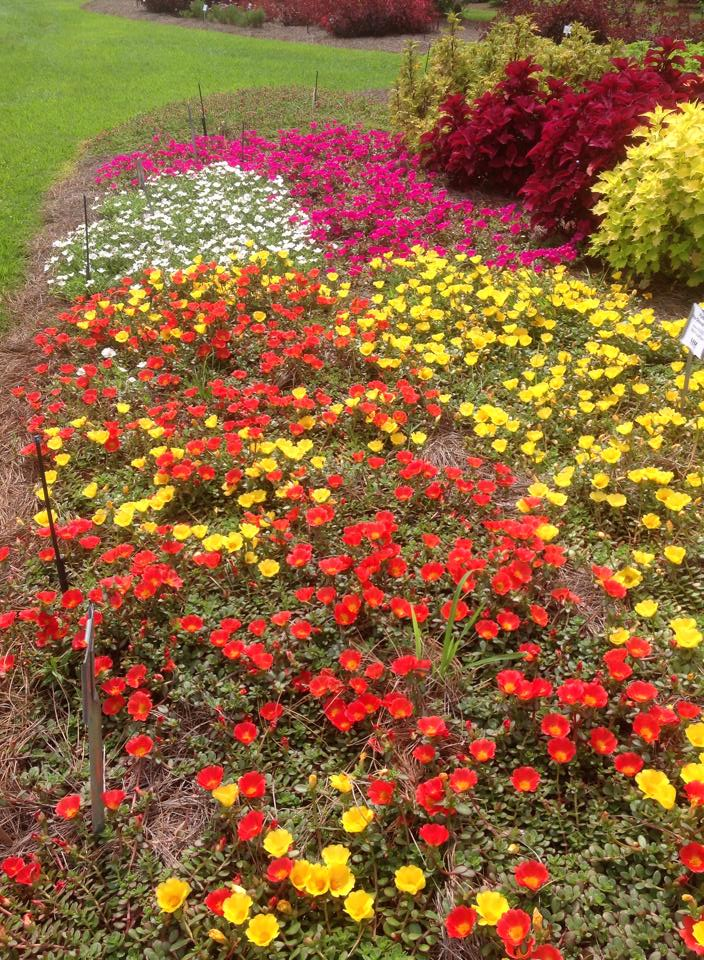 Agcenter Names Top Bedding Plants For, Pictures And Names Of Bedding Plants