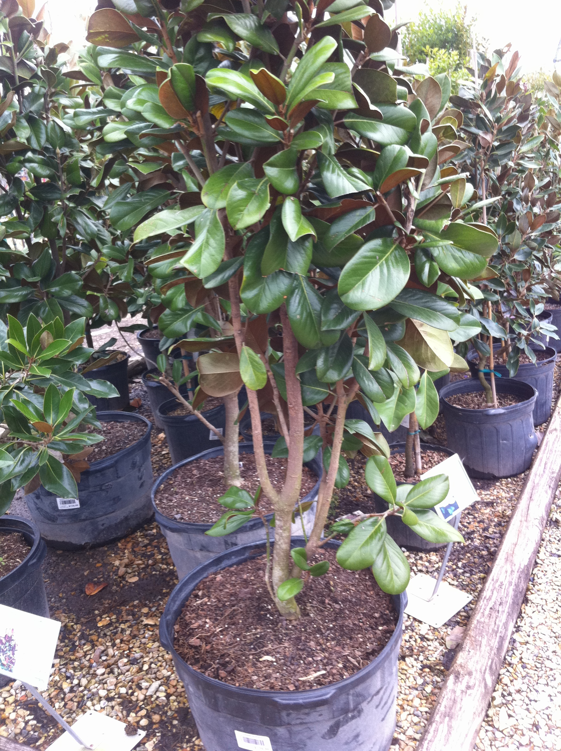 Shrubs to plant in fall - Tree With Low Forks