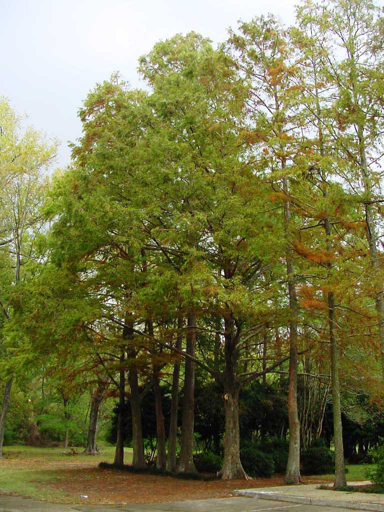 Bald Cypress Trees Photo By Allen Owings Click On For Able Image