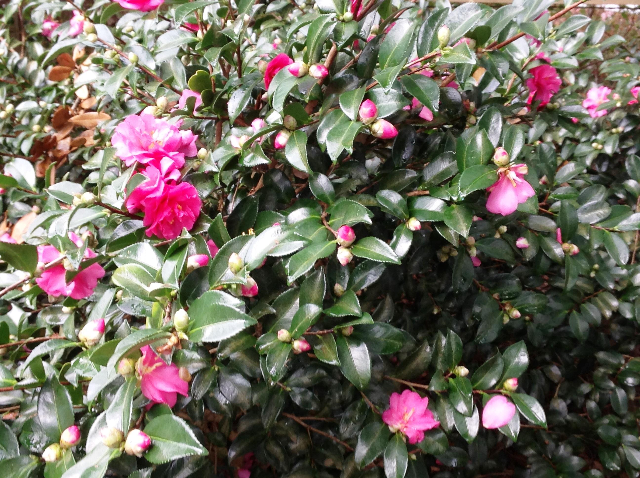 Sasanquas Dwarf Camellias Add Color To